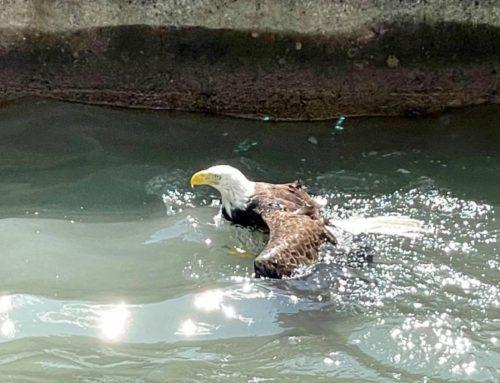 Eagle Rescue 2021